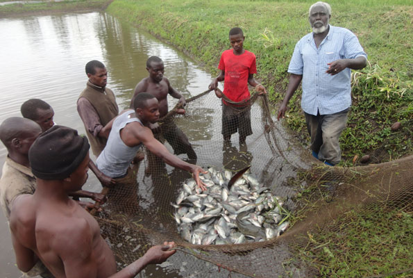 Fish farmers in Isingiro District with their harvest. Uganda, being a leading producer of farmed fish in Africa, there are several lessons and best practices to share with other countries. Photo Credit: The Daily Monior