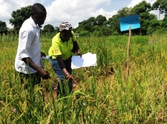 Dr. Bisikwa inspects a rice field