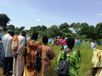 Farmers evaluate striga-resistant rice varieties during a field day