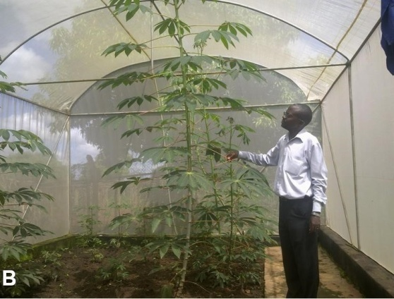 Plate B: Healthy cassava plants growing in a screenhouse at the Makerere University Agricultural Research Institute Kabanyoro after disease cleaning