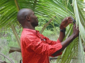 Searching for palm leaflets infested by the white fly