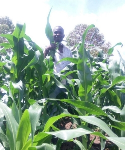 Promising maize harvest