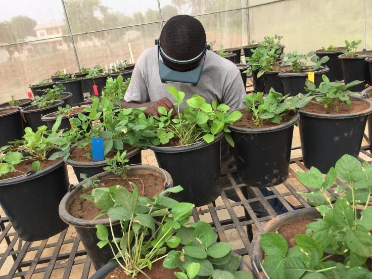 PhD student 1_ making crosses on Kersting's Groundnut (Macrotyloma geocarpum)