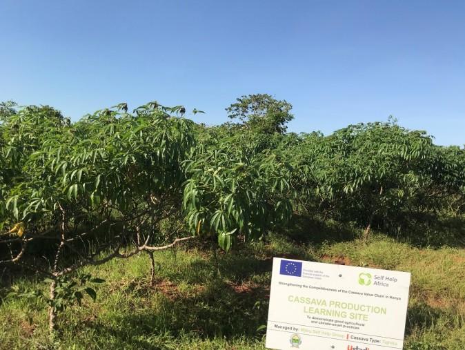 Cassava site2