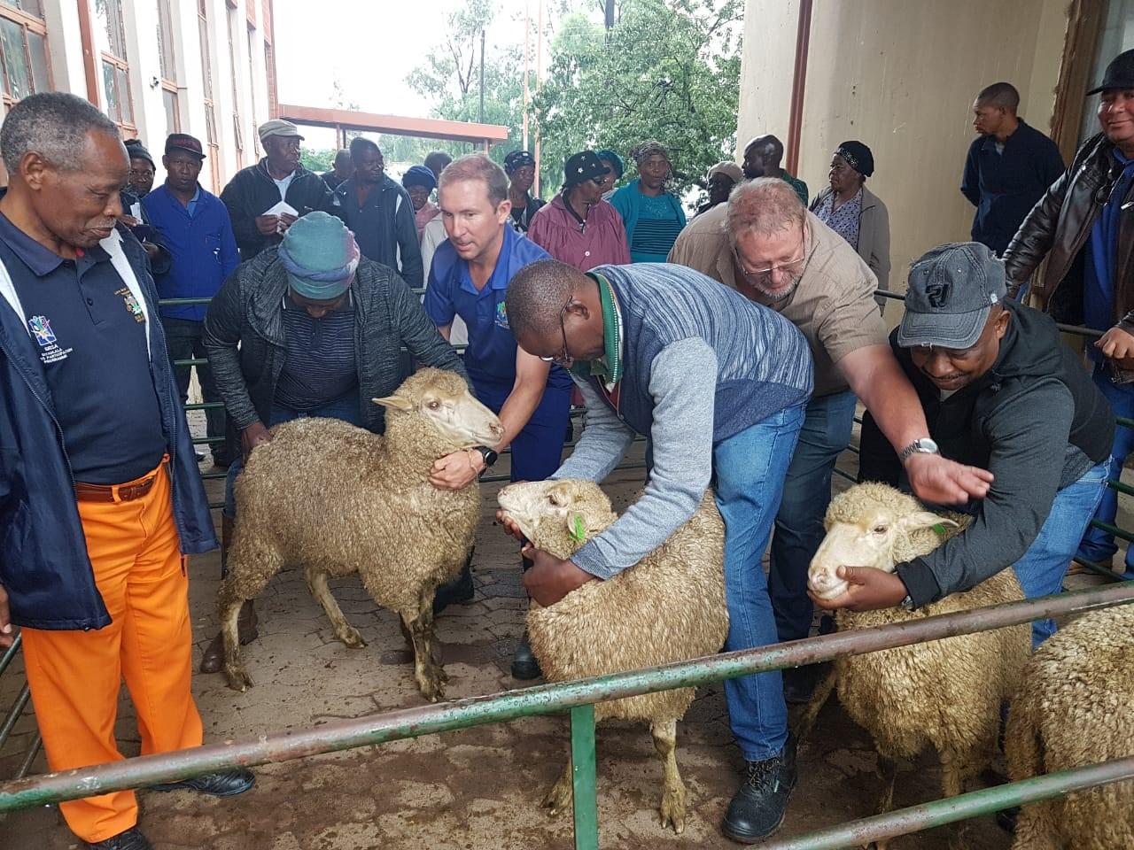 Sheep Handling